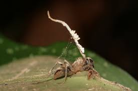 the zombie ant fungus is under attack research reveals u2014 eberly