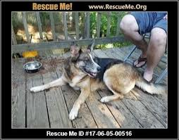 australian shepherd yahoo answers georgia australian shepherd rescue u2015 adoptions u2015 rescueme org