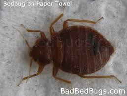 What Does Bed Bugs Look Like What Does Bed Bugs Look Like Clipartsgram Com