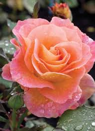 mardi gras roses archives page 3 of 4 earl may nursery and garden centers