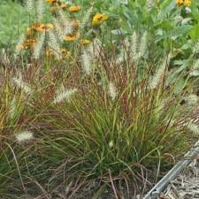 ornamental grasses for sale nature nursery