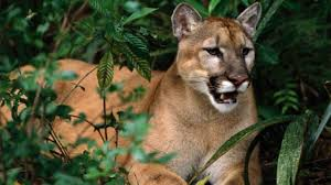 Florida Wild Animals images Big cats and wild animals in florida jpg