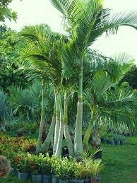 178 best palm images on pinterest palm trees landscaping and