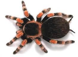best 25 tarantula facts ideas on pinterest pet tarantula