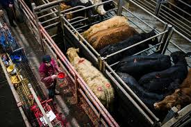 lairage cuisine led the s newest photos of abattoir and cattle flickr hive mind