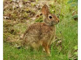 Washington wildlife images Wild rabbits invade sammamish issaquah gardens sammamish wa patch jpg