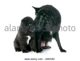 belgian sheepdog pups groenendael stock photos u0026 groenendael stock images alamy