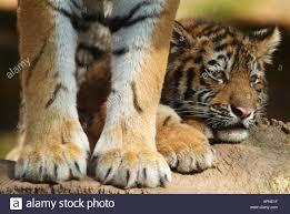 siberian tiger amurian tiger panthera tigris altaica cub lying