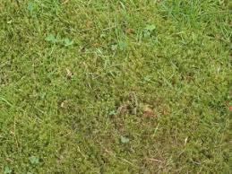 concimazione tappeto erboso la lotta al muschio prato tecnica e concimi antimuschio
