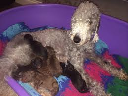 grooming a bedlington terrier puppy bedlington terrier puppies funny puppy u0026 dog pictures