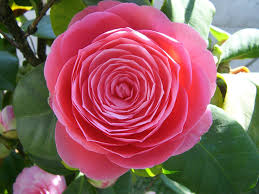 plants native to japan camellia japonica japanese camellia world of flowering plants