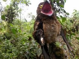 Potoo Bird Meme - the potoo nature s most surprised looking bird lazer horse