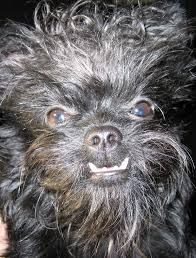 affenpinscher white affenpinscher underbite funny puppy animals pinterest