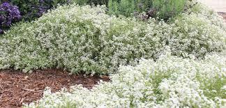 alyssum flowers sweet alyssum costa farms