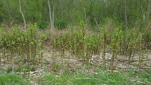 fast growing native plants knotweed starts with quick spring growth morning ag clips