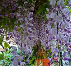 wisteria sinensis australian bush flower garden of aaron 43 invasive plants you should probably shun in