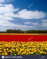 Tulip Field Tulip Field And Windmill At Keukenhof Lisse Holland Stock Photo