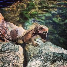 iguana island iguana on a rock frenchtown st thomas us virgin islands