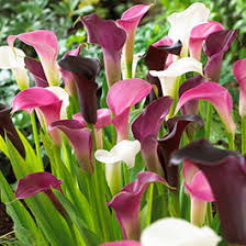 calla lily flower bulbs american meadows