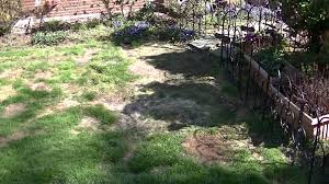 dog urine damage of a lawn and a possible solution youtube