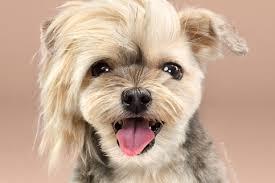 toilettage de l affenpinscher les bienfaits du toilettage pour chien l u0027hygiène du chien
