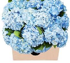 wholesale hydrangeas farm2door 15 stems of select blue hydrangeas from