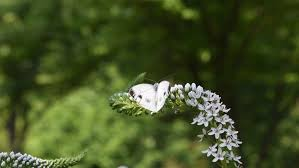 butterfly repels bumblebee with a white flower but does not