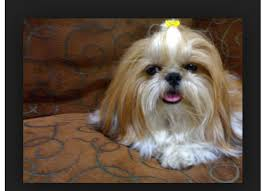 list of shih haircut 139 best gizmo shih tzu hairstyles images on pinterest little
