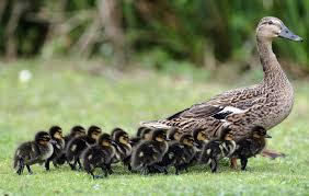 mallards backyard ducks