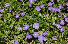vinca flowers vinca minor vines pros cons of a classic ground cover