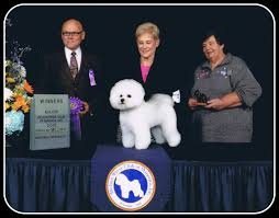 bichon frise kennels welcome to absolutely bichons