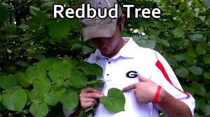 plant redbud trees red flowering trees cercis canadensis youtube