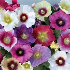 hollyhock flowers hollyhock halo mixed plants and their pots
