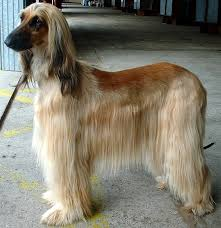 afghan hound creepy 14 gigantic looking long legged and longhaired dogs the tallest