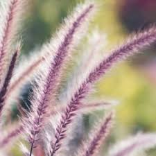 growing ornamental grasses thriftyfun