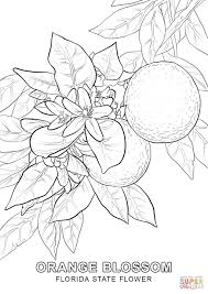 florida state flower coloring page free printable coloring pages