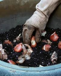 how to plant tulips in pots fine gardening