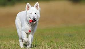 australian shepherd dog names crazy cool black and white dog names u2013 37 perfect ideas