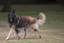 belgian sheepdog breeds do you know numerous types of strong and sturdy shepherd dogs
