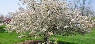 the many benefits of growing crab apples