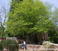 Small Trees For Backyard by Smaller Shade Trees For Your Yard Including 6 Natives