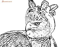 harpy eagle drawing harpy eagle coloring pages drawing harpy eagle
