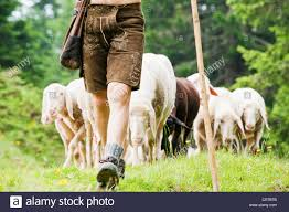 australian shepherd herding sheep shepherd stock photos u0026 shepherd stock images alamy