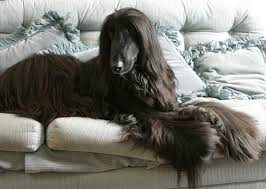 afghan hound do they shed the hound dog breed group learn about beagles basenjis and more