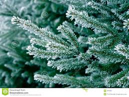 on pine tree stock photo image of background branch 384582