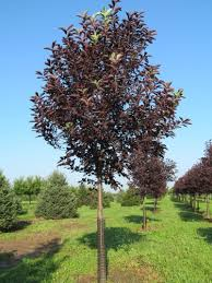 quality wholesale ornamental trees for indiana landscapers