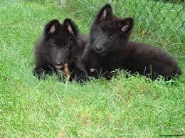 belgian sheepdog pups belgian sheepdog puppies for you offer