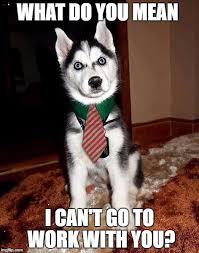 Husky Meme - 8 funny siberian husky memes what every dog deserves