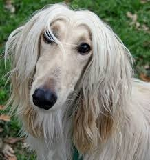 afghan hound good and bad afghan hound everything you want to know about this large dog breed
