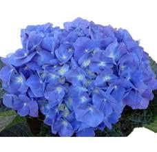 bulk hydrangeas buy wholesale hydrangeas flowers for sale in bulk